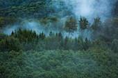 Trees amidst fog, Palatinate Forest, Rhineland-Palatinate, Germany