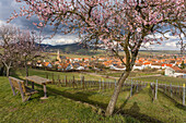 Almond blossom along the southern wine route, Mandelbluetenweg in Gleisweiler, Southern wine route, Rhineland-Palatinate, Germany