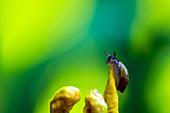 young snail climbing an iris at the top of a flower, oinville-sous-auneau, eure-et-loir (28), centre, france