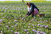 gathering the saffron flowers, saffron farming at samuel de smet's farm (gold medal at the agricultural fair), broue (28), france