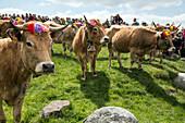 gathering the herds for the public, aubrac cow transhumance festival, col de bonnecombe pass, lozere (48), france