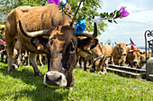 a herd of cows grazing, transhumance of aubrac cows, marchastel, lozere (48), france