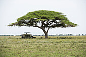 Safari vehicle pauses in shade of spreading acacia tree on Serengeti Plain Tanzania