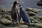 Gentoo Penguin Pygoscelis papua chick begging to be fed at Almirante Brown Antarctic Base, Antarctic Peninsula, Antarctica