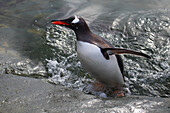 Gentoo Penguin Pygoscelis papua getting out of water at Almirante Brown Antarctic Base, Antarctic Peninsula, Antarctica