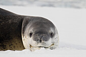 Leopard Seal Hydrurga leptonyx in Paradise Harbour, Antarctica