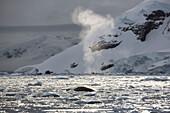 Minke Whale Balaenoptera acutorostrata in Paradise Harbor, Antarctic Peninsula, Antarctica