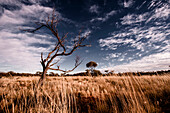 grassland in the outback at sunset, dead tree, great central road, Northern Territory, australia