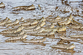 Adult mudskippers Periophthalmus spp, gathering as the tide rises, Bako National Park, Sarawak, Island of Borneo, Malaysia, Southeast Asia, Asia