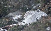 Mountain hare Lepus timidus, Scottish Highlands, Scotland, United Kingdom, Europe