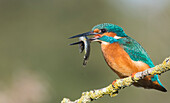 Kingfisher Alcedo atthis, Yorkshire, England, United Kingdom, Europe