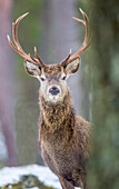 Red deer stag Cervus elaphus, Scottish Highlands, Scotland, United Kingdom, Europe