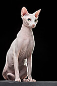 Sphynx hairless cat looking away while sitting against black background