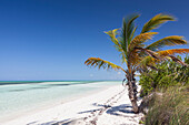 Pristine empty tropical beach with no people with a lonely palm tree in Cayo Guillermo, Cuba