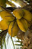 Coconuts on tree