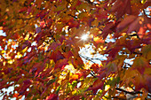 Sunlight shining through colorful autumn foliage