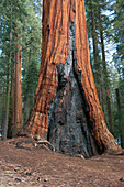 Old sequioa tree scarred by forest fire, Sequoia and Kings Canyon National Parks, California, USA