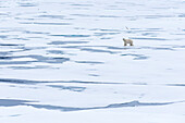 A polar bear in the drift ice of the Arctic ice pack north of Spitsbergen, Svalbard, Norway