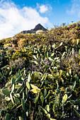 Typical sparse landscape with cacti in the highland around the highest mountain Teide, province Santa Cruz de Tenerife, Vilaflor, Tenerife, Canary islands, Spain