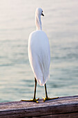 Back of an egret in a national park standing on a beam, Sanibel, Florida, USA