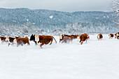 Herd of cattle in snowy farm field