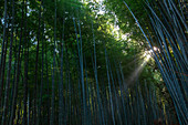 Low angle view of sunshine through bamboo trees