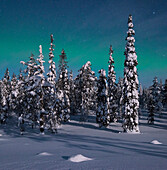 Panoramic view with snowy forest and frozen trees under a starry sky with northern lights in winter, Riisitunturi National Park, Kuusamo, Lapland, Finland, Scandinavia