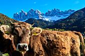 Odle in autumn, Dolomiti, alto adige, italy, europe