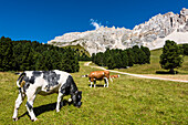 Kühe auf einer Almwiese vor der Bergkulisse am Latemar mit blauem Himmel, Pampeago, Dolomiten, Südtirol, Alto Adige, Italien
