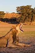 Male lion (Panthera leo) yawning, Kgalagadi Transfrontier Park, Northern Cape, South Africa, Africa