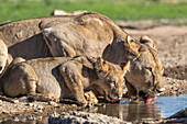 Lioness with cub (Panthera leo) drinking, Kgalagadi Transfrontier Park, Northern Cape, South Africa, Africa