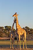 Giraffe (Giraffa camelopardalis) necking, Kgalagadi Transfrontier Park, Northern Cape, South Africa, Africa