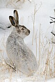 Whitetail Jackrabbit - Prairie Hare - White Jack - in the snow (Lepus townsendi) - Yellowstone - USA. Lievre de Townsend - Lievre a queue blanche - dans la neige.