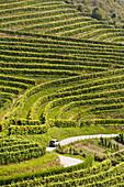 Txakoli (aka Chacoli, typical wine in Euskadi), Talaiberri winery in Talaimendi hill, vineyards, Zarautz, Guipuzcoa, Basque Country, Spain.