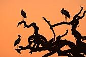 White storks (Ciconia ciconia) on a dead acacia tree before sunrise in the tree savannah of Serengeti National Park. Tanzania