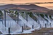 Australia, Victoria, VIC, Yarra Valley, vineyard vines under mesh fabric, dusk.