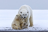 United States , Alaska , Arctic National Wildlife Refuge , Kaktovik , Polar Bear( Ursus maritimus ) , mother with one cub from the year along a barrier island outside Kaktovik, Alaska. Every fall, polar bears (Ursus maritimus) gather near Kaktovik on the