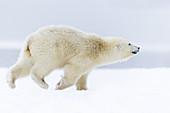 United States,Alaska,Arctic National Wildlife Refuge,Kaktovik,Polar Bear( Ursus maritimus),yearling running along a barrier island outside Kaktovik,Every fall, polar bears (Ursus maritimus) gather near Kaktovik on the northern edge of ANWR,Arctic Alaska,.