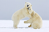 United States,Alaska,Arctic National Wildlife Refuge,Kaktovik,Polar Bear( Ursus maritimus),youngs playing together along a barrier island outside Kaktovik,Every fall, polar bears (Ursus maritimus) gather near Kaktovik on the northern edge of ANWR,Arctic A