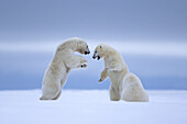 United States,Alaska,Arctic National Wildlife Refuge,Kaktovik,Polar Bear( Ursus maritimus),mother with two cubs,one cub 2 years old is playing with the mother along a barrier island outside Kaktovik,Alaska,Every fall,polar bears (Ursus maritimus) gather n