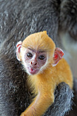 Asia,Borneo,Malaysia,Sabah,Labuk Bay,Silvery lutung or silvered leaf monkey or the silvery langur (Trachypithecus cristatus),adult and offspring (orange in color).