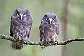 Europe,Finland,Kuhmo area,Kajaani,Boreal owl or Tengmalm´s owl (Aegolius funereus),two youngs just after they left the nest,perched on a branch.
