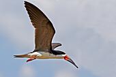 South America Brazil,Amazonas state,Manaus,Amazon river basin,Black Skimmer (Rynchops niger),one individual in flight.