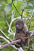 South America,Brazil,Amazonas state,Manaus,Amazon river basin,Brown woolly monkey,Common woolly monkey (Lagothrix lagotricha),young baby.