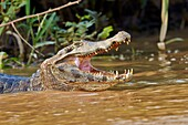 South America, Brazil, Mato Grosso, Pantanal area, Yacare caiman Caiman yacare, resting on the bank of the river, mouth open.