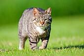 France, Alsace, Lobsann, Marienbronn, Domestic cat Felis catus or Felis silvestris catus.