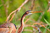 Europe, France, Ain, Dombes,. Purple heron Ardea purpurea, adult fishing in the vegetation.