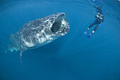 Female underwater photographer snorkelling with whale shark. Mexico