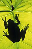 Gray treefrog (Hyla versicolor), Greater Sudbury, Ontario, Canada.