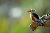 Gray-headed kingfisher (Halcyon leucocephala), Buffalo Springs National Reserve, Eastern, Kenya.